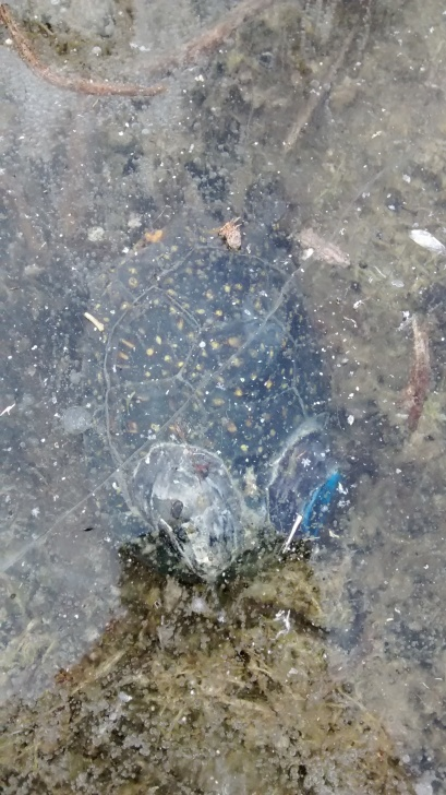 """Turtle under 2"""" of ice (ibutton and transmitter attached to shell)"""