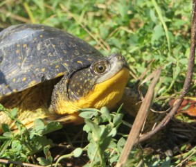 Beautiful Blanding's Turtle