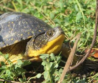 Beautiful Blanding's Turtle