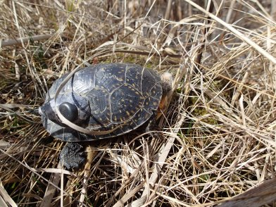 Tracked turtles with transmitter on shell